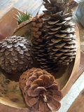Dried pine cones Stock Images