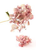 Dried Pink Hortensia Stock Image