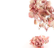 Dried pink hortensia Royalty Free Stock Photo
