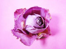 Dried pink rose (2) stock photos