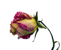 Dried pink rose Royalty Free Stock Photo
