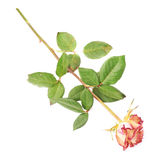 Dried pink rose over the white background Royalty Free Stock Photos