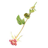 Dried pink rose over the white background Royalty Free Stock Photo