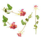 Dried pink rose over the white background Royalty Free Stock Photography