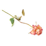 Dried pink rose over the white background Royalty Free Stock Image