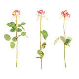 Dried pink rose over the white background Stock Photo
