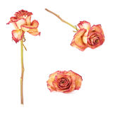 Dried pink rose over the white isolated background Royalty Free Stock Photography