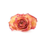 Dried pink rose over the white isolated background Royalty Free Stock Images