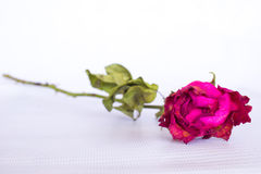 Dried pink rose Royalty Free Stock Photos