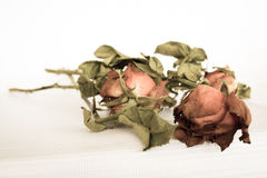 Dried pink rose Stock Photography