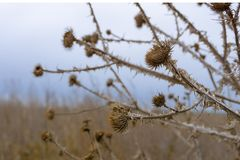 Dried plant on the background of the winter sky. Onopordum acanthium stock images