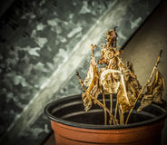 Dried Plant. A close-up of a withered plant in a pot Royalty Free Stock Image
