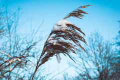 Dried Plant Drooping Under Heavy Snow. Nature Close Up of Dry Brown Plant Drooping Under Weight of Heavy Snow, Low Angle View Looking Up at Head of Plant Covered Royalty Free Stock Photography
