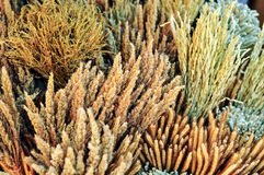 Dried Plant. Grass Rice For Home Decoration In Vintage Style Stock Photo
