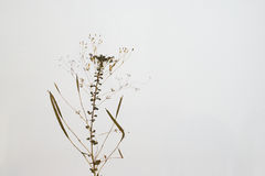 Dried plant  Royalty Free Stock Images