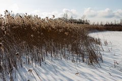 Dried plant near lake. Dried plant near lake against the blue sky. Belarus. Vitebsk area 2014 Stock Photo