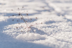 Dried plant on a snow. Dried plant on a sunlit snow Stock Image