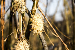 Dried plant Stock Images