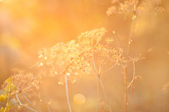 Dried plant in sunset light Stock Photos