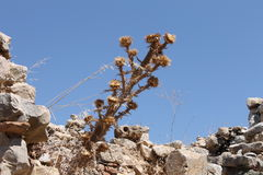 Dried plant thorn among the stones of historical ruins of the summer Stock Photos