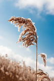 Dried plant. Dried wild plant against the blue sky Royalty Free Stock Image