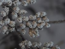 Dried plants, covered with small ice crystals. Frost. Close-up Stock Photos