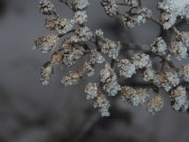 Dried plants, covered with small ice crystals. Frost. Close-up Royalty Free Stock Images