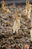 Dried plants on the ground. Due to drought Stock Photo