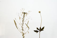 Dried plants  Royalty Free Stock Images