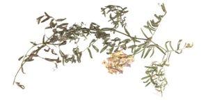 Dried plants herbarium Stock Photo