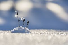 Dried plants with ice crystals. On a blue blurred snowy background Stock Photos