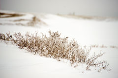 Dried plants in the snow Stock Photo