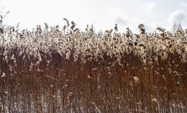 Dried plants. Dried wild plants against the blue sky Royalty Free Stock Photo