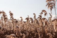 Dried plants. Dried wild plants against the blue sky Royalty Free Stock Images