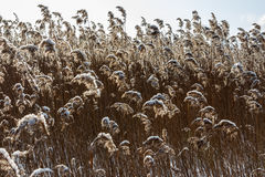 Dried plants. Dried wild plants against the blue sky Stock Photo