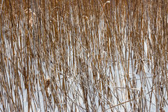 Dried plants. Dried wild plants against the snow. January 2014. Vitebsk  Belarus Stock Photos