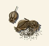 Dried poppy flower. Vwctor illustration dried poppy flower stock illustration