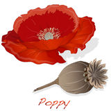 Dried poppy head vector Stock Photo