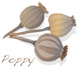 Dried poppy head vector Royalty Free Stock Photos