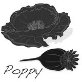 Dried poppy head vector Stock Photos