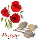 Dried poppy head vector Stock Photography