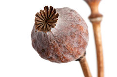 Dried poppy heads on white Royalty Free Stock Images