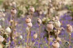 Dried poppy plants Royalty Free Stock Photography
