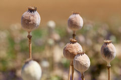 Dried poppy plants Royalty Free Stock Image