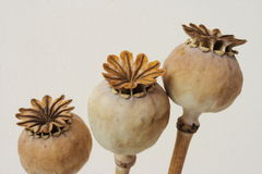 Dried poppy seeds pods Royalty Free Stock Photo
