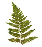 Dried and pressed fern leaf. Herbarium of fern isolated Stock Photography