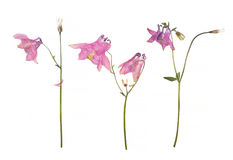 Dried and pressed flowers of a pink Aquilegia vulgaris Columbine flower isolated on a white.  stock photos