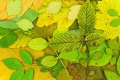 Dried and pressed leaves in the background Royalty Free Stock Photography