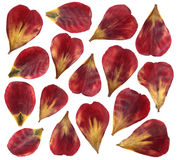 Dried and pressed petals of tulip flower. Isolated on white background. For use in scrapbooking or herbarium. Red and yellow petals stock photos