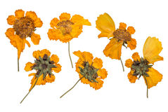 Dried and pressed the spring wild flowers isolated on white background. Herbarium of yellow flowers. Royalty Free Stock Photo